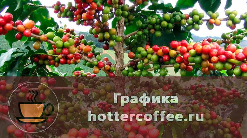 Кофейное дерево Аравийская Арабика