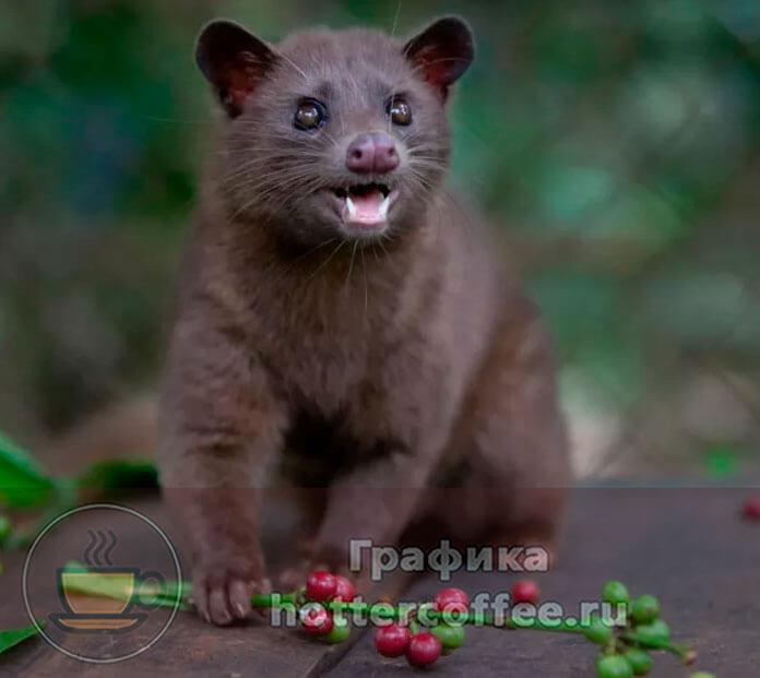 Мусанг - именно этот зверек помогает получить кофе копи лювак